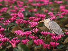 Grey Heron (SivamDesign) Tags: canon eos 550d rebel t2i kiss x4 300mm tele canonef300mmf4lisusm kenko pro300 caf 14x teleplus dgx bird fauna grey heron greyheron ardeacinerea chirakkalchira