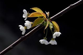 Blossom Bow........
