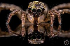 Araignée sauteuse (PatHDTattoo) Tags: araignée sauteuse spider arachnide macro saltique salticidae