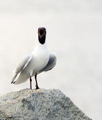 I scream (AH Robberstad) Tags: hettemåke chroicocephalusridibundus langøy theblackheadedgull