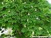 Marronnier (zukythierry) Tags: marronnier arbres