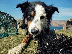 Woody at Sandaig Islands on the Sound of Sleat (HighlandArt13) Tags: soundofsleat kylerhea sandaig islands lochalsh scottishhighlands scotland gavinmaxwell glenelg mamratagan ringofbrightwater bordercollie woody