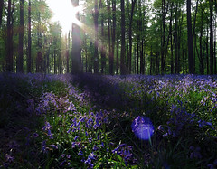 Blue-ming (Robyn Hooz) Tags: blue bluebells campanule blu inglese campagna sotto bosco alberi trees pace peace nature bucolico breath