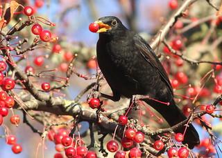 Blackberrybird