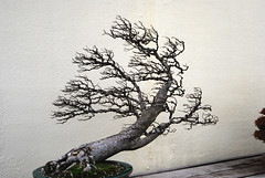 Bonsai, National Arboretum 127526 (thw05) Tags: art bonsai dc nature northamerica penjing people places thwilliamsphotography thomashwilliams thwphotoscom trees usnationalarboretum us usa washington tree plant