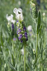 Lavandula stoechas 'Madrid Blue' (MGormanPhotography) Tags: lavandula stoechas madridblue spanish lavender perennial herb mediterranean gray green foliage blue white bloom flower patented patent 12573