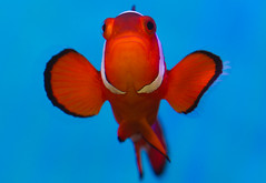 False Percula Clownfish (Macro Monday) (Boba Fett3) Tags: macromondays orangeandblue closeup upclose orange blue fish marine underwater water fauna pisces clownfish amphiprionocellaris canon100mmf28 canon1dmkiv swimming aquarium aquatic sealife
