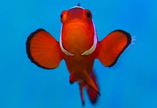 False Percula Clownfish (Macro Monday)