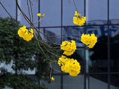 Brazilian Ipé-amarelo 2 (C & R Driver-Burgess) Tags: yellow blossom flower tree silhouette spar glass window reflection