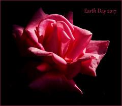 Let the sun, shine in! (milomingo) Tags: nature plant flower rose pink botanical garden mygarden earthday petal bloom blossom onblack light shadow contrast frame photoborder text 2017 theworldinpink closeup artisticflowers cmwd cmwdpink