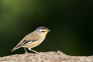 Striated Pardalote (Pardalotus striatus)
