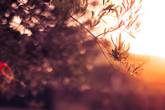 In the warmth of sunset (thethomsn) Tags: warmth sunset leaves olivetree sardinia nature bokeh dof focus flare light sundown faded color thethomsn