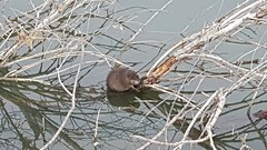 March 5, 2017 - A Muskrat at Broomfield's McKay Lake. (David Canfield)