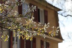 Window to spring (crowfoto) Tags: tübingen tuebingen window blossom blüte fenster