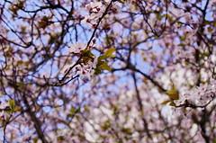 55 Paris en Mars rue Saint-Fargeau (paspog) Tags: paris france mars march märz 2017 fleurs blooms ruesaintfargeau blumen