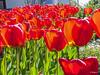 Tulpen - Tulips (BIngo Schwanitz) Tags: bingoschwanitz bingos familieliliengewächseliliaceae gattungtulpen liliaceae liliales lilienartige liliengewächse lilioideae ordnunglilienartigeliliales sony teltowhomeoutdoor tulipa tulpen unterfamilielilioideae