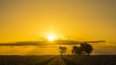 yellow gold (andrew.walker28) Tags: yellow sunlight darling downs queensland australia farmland farm country landscape panorama