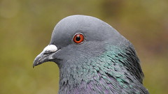 Domestic Pigeon  (Columba livia domestica) (eerokiuru) Tags: pigeon domesticpigeon columbaliviadomestica kodutuvi tuvi gardenbirds portrait closeup