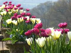 Tyntesfield House (jacquemart) Tags: tyntesfieldhouse tyntesfieldestate nationaltrust somerset tulips terrace spring urn woods woodland tree
