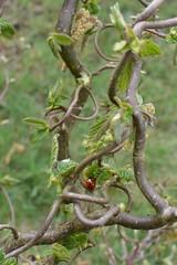 Ladybug on a hazelnut (yvonneeckrich) Tags: marienkäfer ladybug