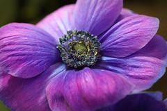 RUS60666(Anemone) (rusTsky) Tags: winner flower anemone blossom outdoor plant nature puple canon