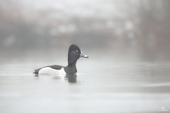 Ring-necked duck - Fuligule à collier - Aythya collaris (Maxime Legare-Vezina) Tags: duck canard bird oiseau nature wildlife canon spring quebec canada
