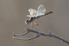 Little (jrosvic) Tags: libelula dragonfly selysiothemisnigra blackpennant libellulidae laazohia cartagena murcia spain nikond7100 nikonafs300mmf4 freehand macro closeup anisoptera odonata entomology kenkopro300x14