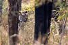 Hiding? (Thomas Retterath) Tags: india indien asia asien bandavgar 2017 natur nature allrightsreserved thomasretterath copyrightthomasretterath wald forest bengalischertiger tiger felidae raubtiere predator carnivore säugetier mammals animals tiere pantheratigristigris roteliste endangeredspecies gefährdetetierart redlist wildlife