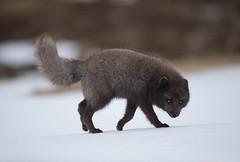 Arctic fox. (richard.mcmanus.) Tags: westfjords mcmanus arcticfox arctic fox iceland gettyimages animal wildlife
