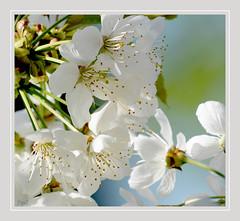 Douceur printanière !! (thierrymazel) Tags: blanc white fleurs flowers bokeh profondeur champ fruitier cadre bordure printemps spring