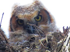 A Great-Horned Owlet coming of age as it nears leaving the nest. (kennethkonica) Tags: nature bird canonpowershot global random hoosiers marioncounty midwest america usa indiana indianapolis indy colors animaleyes animal outdoor c owl owlet baby wildlife wild spring april nex greathornedowl nest