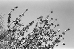 Flowers in the sky (tercrossman87) Tags: canon 7 50mm 18 ilford fp4 125 119 film home development ilfotec lc29 epson v550