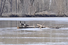 Somewhere in the middle (Jake (Studio 9265)) Tags: mill race park columbus indiana in usa united states america nikon d5000 march 2017 outside spring canadian geese goose animal bird water river log standing wood logs brown