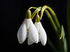 Duo (sosivov) Tags: sweden snowdrops flower flowers macro white blackbackground