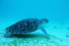 and the turtles store up some food for the night (Landersz) Tags: philippines filippine coron palawan club paradise snorkeling turtle shark clownfish nemo dugong landersz canon 5dmk3 nimar gopro hero5
