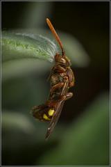 Roosting Nomada Bee (Ed Phillips 01) Tags: roosting nomada cuckoobee cuckoo bee mandibles insecr macro mpe staffordshire explored
