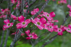 our favorite (lvphotos!) Tags: dogwood flower spring springtime red pink beautiful nature outdoor tree favorite pretty nice day enjoy appreciate closeup