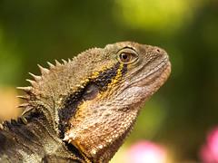 I am The Dragon and you are not.  The Dragon. (Almost Neutral Density) Tags: australianwaterdragon lizard brisbane botanicgarden basking edmundkhoo edkhoo edmundkhoophotography