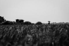 Bangladesh (Extinted DiPu) Tags: canon 50mm lifestyleofbangladesghipeople monochrome summer dailylife riverside riverbank outside photography enamur reza dipu umbrella land field scout exploring explore flickr flickrriver