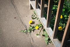 Löwenzahn (rosaroyale) Tags: löwenzahn dandelion gelb grün yellow green geländer banister