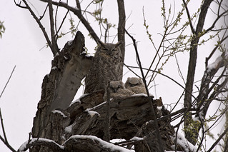 Great Horned Owls 3