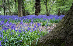 Bluebells (Andy.Harper) Tags: bluebells spring tress wood lincolnshire