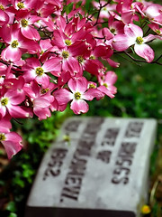 "Cincinnati – Spring Grove Cemetery & Arboretum ""Red Dogwood Tree Over Headstone"" (David Paul Ohmer) Tags: ohio cincinnati spring grove cemetery arboretum springgrovecemetery gravesites burial grounds death spirit soul deceased graveyard conservatory victorian gothic revival national historic landmark adolph strauch cemetary red pink dogwood tree flower"