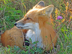 Earth Angel (marylee.agnew) Tags: vulpes fox red canine sun summer warm nature wildlife earth day outdoor