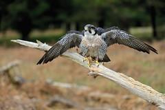 _F1_0580 (www.fozzyimages.co.uk) Tags: wildlife newforest birdsofprey rspb captivelightukcom