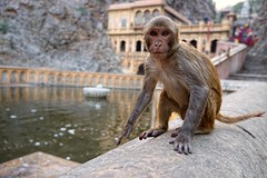 Monkey Temple (t3mujin) Tags: india building nature animal architecture temple monkey asia jaipur rajasthan macaque rhesusmacaque macacamulatta