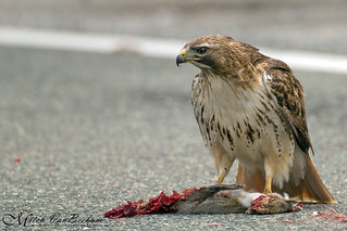 Street Cleaner (Red-tailed Hawk)