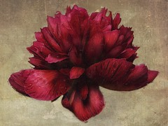 Peony (Michael Trombley) Tags: flower peony texturesquared iphoneography