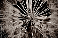 Delicate dandelion (Terezaki ) Tags: travel light bw flower macro closeup sepia photography photo drops spring day searchthebest details hellas athens dandelion greece delicate pictureperfect naturesfinest ncg 100faves 50faves 100favs anawesomeshot flickrdiamond theperfectphotographer natureselegantshots