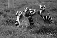Lemurs (Doodles N' Dabbles) Tags: family blackandwhite cute animals stripes group lemur ringtailed